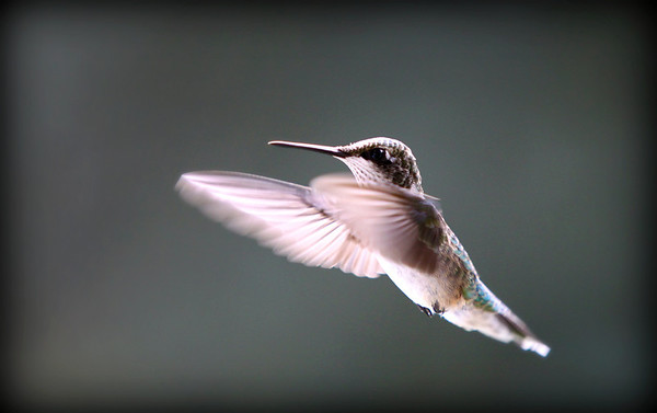 The Last of the Humming Birds.