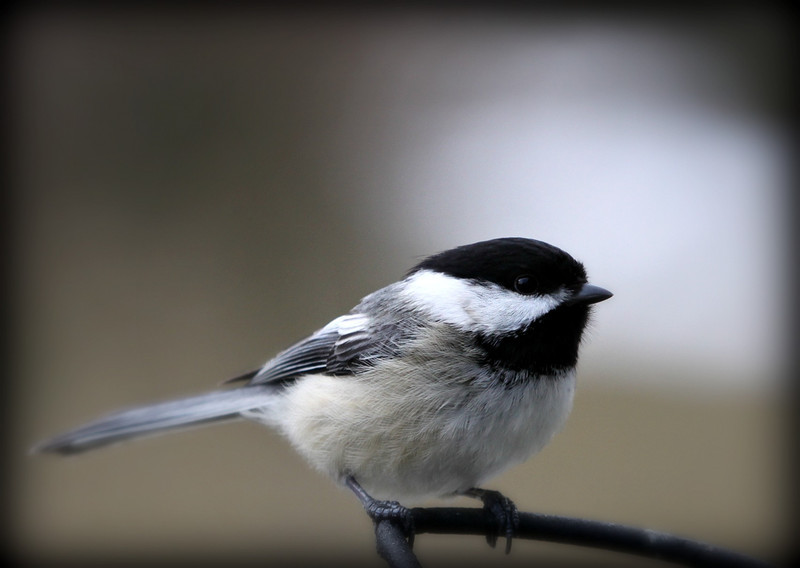A little black capped chickadee sitting at my feeder.....