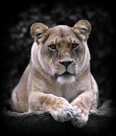 L is for Lioness