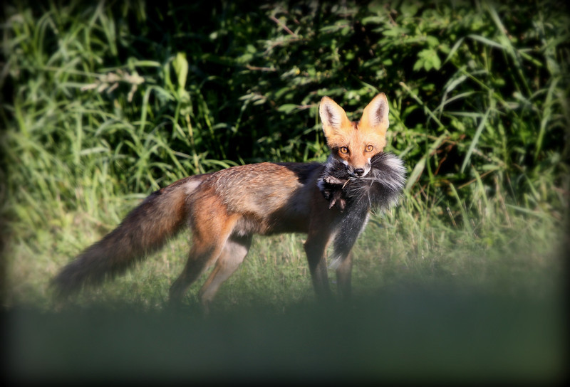 Not sure who caught who? Here is a shot of the mother fox heading back to her den she has a dead skunk in her mouth. She spotted me as I spotted her was only able to get two shot's off before she turned and ran. I was very happy with this shot, love the look in her eye's. Have a great day everyone.......