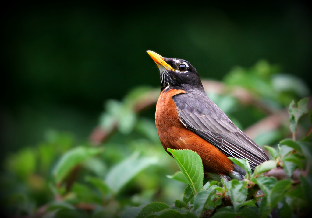 A beautiful Robin.
