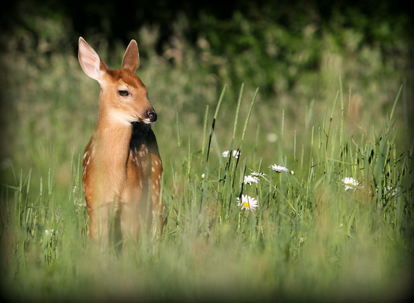 A little Fawn on a summer day.
